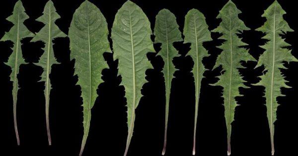 Esta aparente «hierba mala» es una planta medicinal muy versátil… ¡Sé que te sorprenderás!