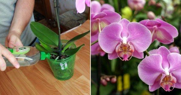 Cáscara de plátano para orquídeas.
