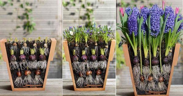 Ella plantó unos bulbos de flores de una manera muy inusual… ¡He aquí el resultado!