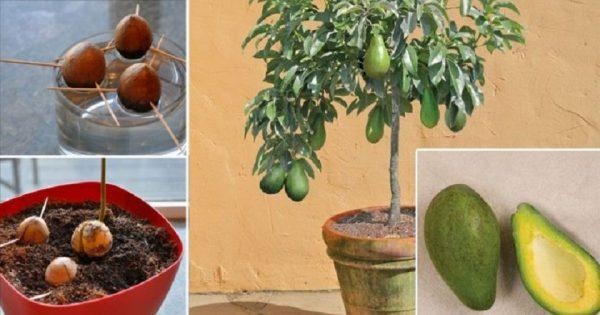 Cómo cultivar aguacate en el hogar. ¡Este sencillo método les encanta a todas mis amigas!