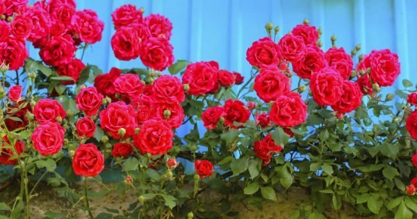 ¿Qué tipo de vecinos no tolerará una rosa caprichosa?
