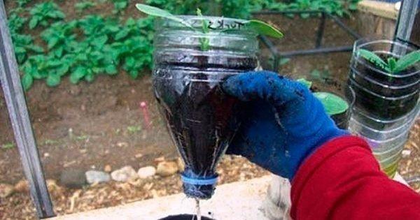 Cómo cultivar pepinos en una botella