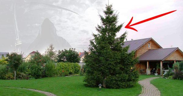 Es por eso que no puedes plantar una pícea cerca de la casa. Para reducir el efecto negativo…