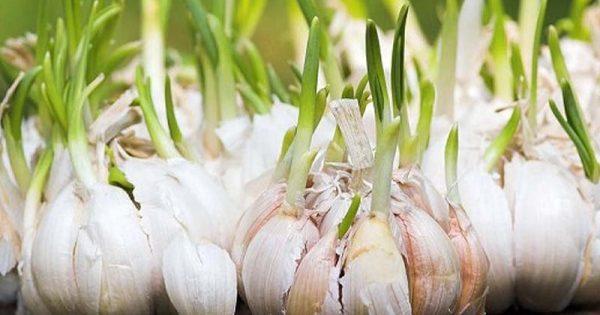 ¿Sueles desechar los brotes de ajo? A partir de ahora, no lo hagas más… ¡No sabes lo que te has perdido!
